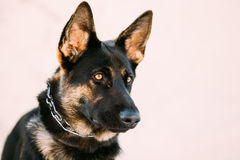 Pastor alemán joven hermoso Dog de Brown Fotografía de archivo libre de regalías