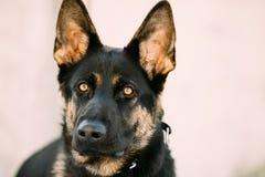 Pastor alemán joven hermoso Dog de Brown Imágenes de archivo libres de regalías