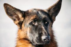 Pastor alemán joven hermoso Dog de Brown Fotos de archivo