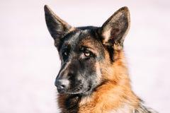 Pastor alemán joven hermoso Dog de Brown Foto de archivo