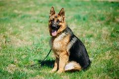 Pastor alemán joven hermoso Dog Sitting de Brown Imagenes de archivo