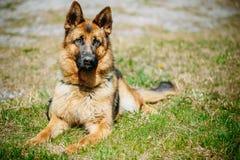 Pastor alemán joven hermoso Dog Sitting de Brown Fotos de archivo libres de regalías
