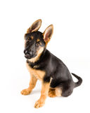 Pastor alemán lindo del perro de perrito imagen de archivo libre de regalías