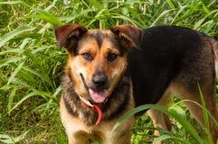 Pastor alemán Mix Dog fotografía de archivo