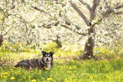 Pastor alemán Mix Dog Laying en prado de la flor en el manzanar foto de archivo