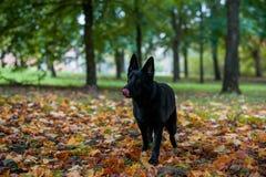 Pastor alemán negro Dog Walking en la hierba Abra la boca, lengua hacia fuera hojas de otoño en fondo imagen de archivo libre de regalías