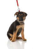 Pastor alemán Puppy imagen de archivo libre de regalías