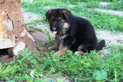 Pastor alemán Puppy Imágenes de archivo libres de regalías