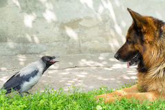 Pastor alemán y cuervo encapuchado Fotografía de archivo