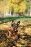 Pastor alemão da raça do cão Foto de Stock