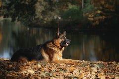 Pastor alemão da raça do cão Imagem de Stock