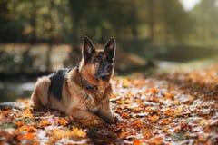 Pastor alemão da raça do cão Imagem de Stock Royalty Free