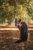 Pastor alemão da raça do cão Fotografia de Stock