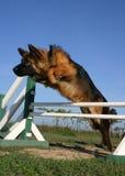 Pastor alemão de salto Fotografia de Stock Royalty Free