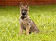 Pastor alemão do filhote de cachorro foto de stock royalty free