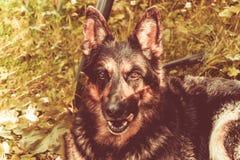 Pastor alemão Dog fotografia de stock royalty free