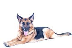 Pastor alemão Dog Imagens de Stock