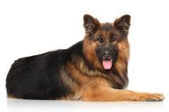 Pastor alemão Dog Fotos de Stock