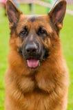 Pastor alemão Dog Fotos de Stock Royalty Free