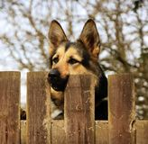 Pastor alemão Dog Behind a cerca imagem de stock