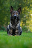 Pastor alemão Dog, cão de funcionamento grande-feito sob medida que originou em Alemanha, sentando-se na grama verde com fundo da Imagem de Stock