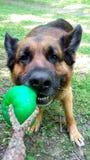 Pastor alemão Dog que joga puxar da bola Fotos de Stock