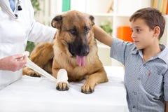 Pastor alemão Dog que obtém a atadura após ferimento em seu pé pela Fotos de Stock Royalty Free