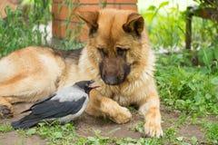 Pastor alemão e corvo encapuçado Imagens de Stock