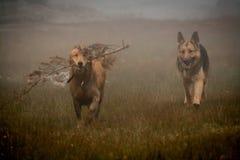 Pastor alemão e golden retriever que jogam na névoa Foto de Stock