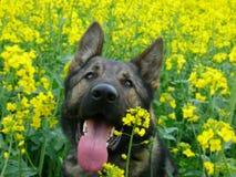 Pastor alemão em flores amarelas fotos de stock
