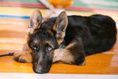 Pastor alemão novo Dog Puppy Sitting no assoalho de madeira Alsatia Fotos de Stock Royalty Free
