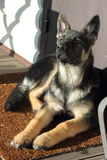 Pastor alemão Puppy Foto de Stock