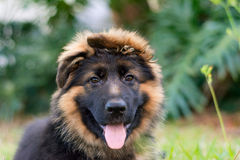 Pastor alemão Puppy Fotografia de Stock