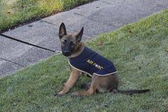 Pastor alemão Puppy Fotos de Stock Royalty Free