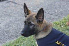 Pastor alemão Puppy Foto de Stock Royalty Free