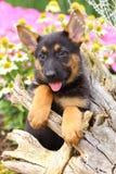 Pastor alemão Puppy com patas em um coto velho Fotografia de Stock Royalty Free