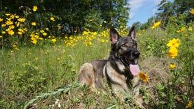 Pastor alemão que encontra-se no sol em um campo de flores amarelas Fotos de Stock Royalty Free