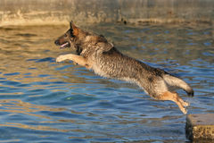 Pastor alemão que salta na água Fotografia de Stock