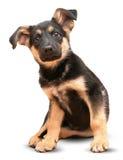 Pastor alemán Dog Fotos de archivo libres de regalías