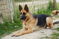 Pastor alemán Dog Imagenes de archivo