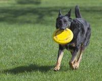 Pastor alemán Dog con el disco volador amarillo que corre en la hierba Foto de archivo
