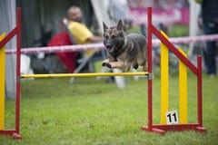 Pastor alemán en la competencia de la agilidad, sobre el salto de la barra Perro orgulloso que salta sobre la reconstrucción del  Fotos de archivo libres de regalías