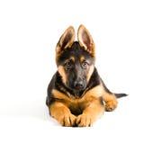 Pastor alemão bonito de cão de cachorrinho que encontra-se para baixo Imagem de Stock Royalty Free