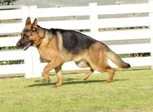 Pastor alemão Dog Fotografia de Stock