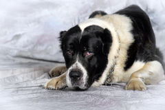 Pastor asiático central Dog Imagens de Stock