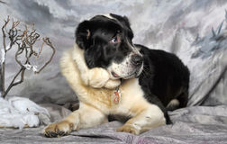 Pastor asiático central Dog Imagen de archivo