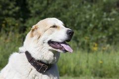 Pastor asiático central Dog Foto de Stock