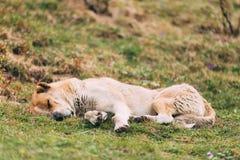Pastor asiático central Dog Sleeping Outdoor Fotografía de archivo libre de regalías