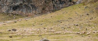 Pastor asiático central Dog Tending Sheep en las montañas de Georgia Imágenes de archivo libres de regalías