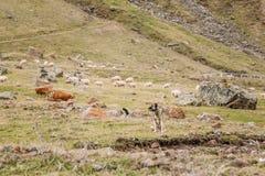 Pastor asiático central Dog Tending Sheep nas montanhas de Geo Imagens de Stock